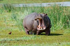 Flusspferd / Hippopotamus