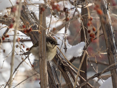 Ruby-crowned Kinglet (Regulus calendulua)