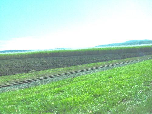 Mossman sugar cane.
