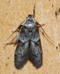 # 1162 – Blastobasis glandulella – Acorn Moth