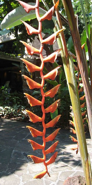 Photo:蝎尾蕉屬 Heliconia longissima  [新加坡植物園 Singapore Botanic Gardens] By 阿橋花譜 KHQ Flower Guide