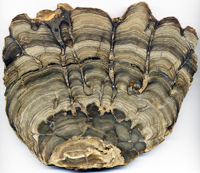 Photo:Stromatolite (Fort Laclede Bed, Laney Member, Green River Formation, Lower Eocene; ancient Lake Gosiute, southwestern Wyoming, USA) 1 By James St. John