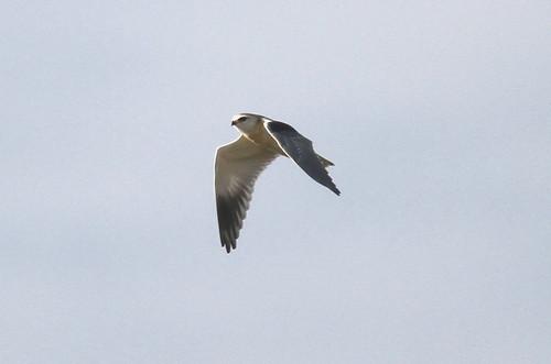 Black-winged Kite (elanus caeruleus)