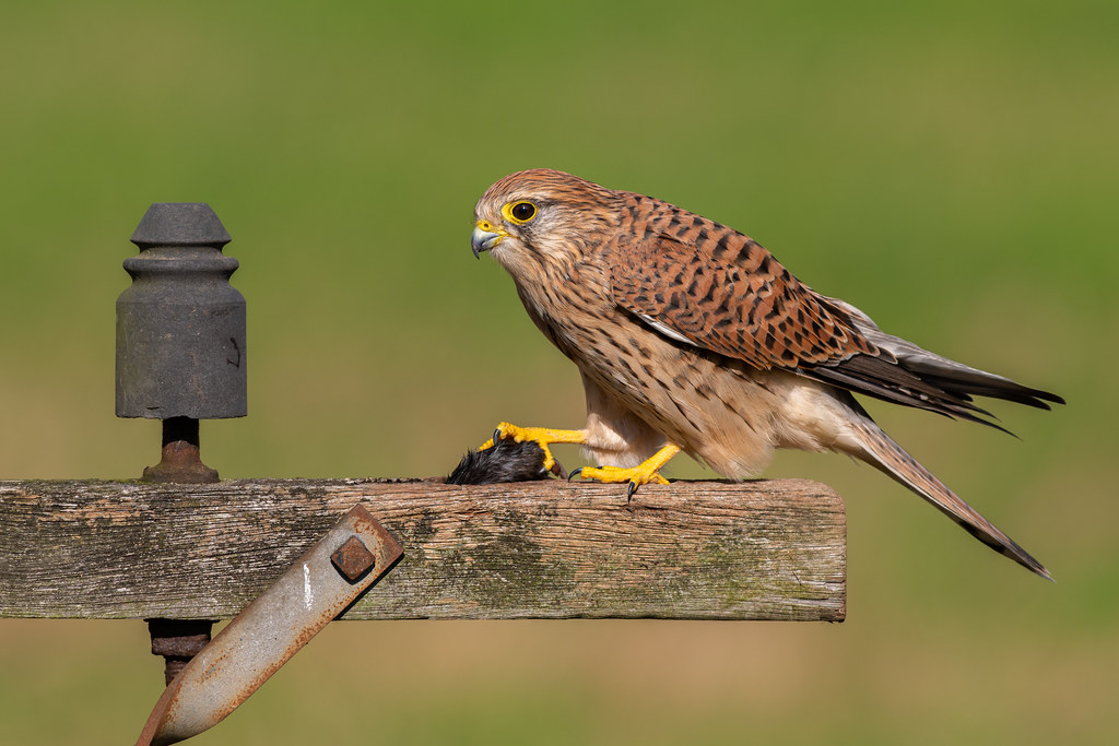 Female Common Kestrel
