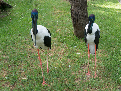 Black-necked Stork, Jabiru