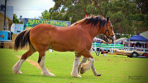 Samson the Clydesdale