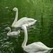 Famille de cygne chanteur ou cygne sauvage/Whooper Swan