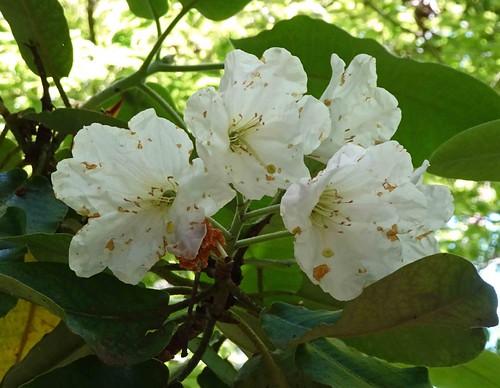 波葉杜鵑 Rhododendron hemsleyanum  [溫哥華哥倫比亞大學植物園  UBC Botanical Garden, Vancouver]