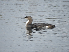 Birds- Divers, Grebes and Rails.