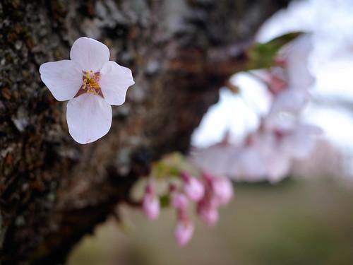 桜 2016 / Four petals