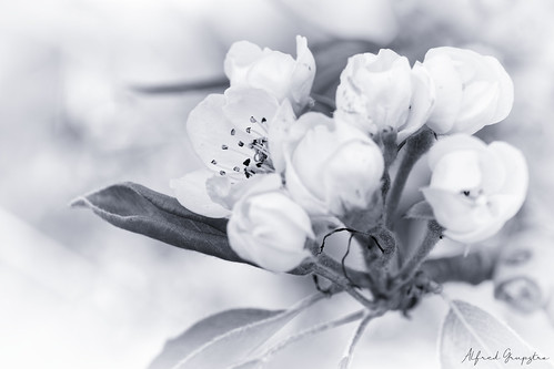 Pear Blossom In High Key Cyan
