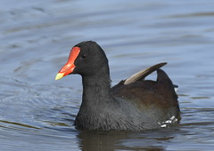 Coots & Gallinule