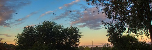 #106/365 Low Flying Lorikeets at Dusk