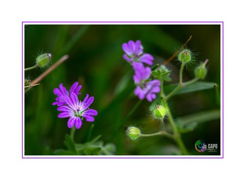 Geranium pyrenaicum : L'ennemi se déguise parfois en géranium, mais on ne peut s'y tromper, car tandis que le géranium est à nos fenêtres, l'ennemi est à nos portes. De Pierre Desproges.