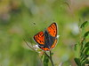 Photo:Lycaena phlaeas butterfly (common copper, ベニシジミ) By Greg Peterson in Japan