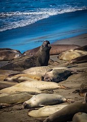 Male Elephant Seal  on the Beach No. 2