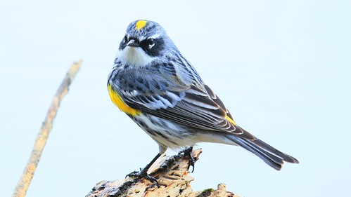 yellow-rumped warbler male at Lake Meyer Park IA 653A1025