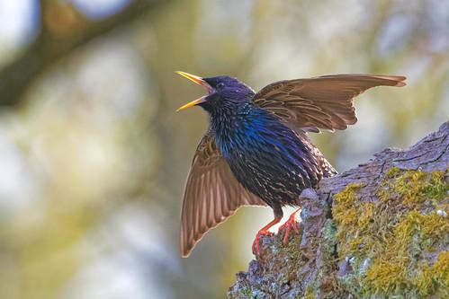Star - Starling - Sturnus vulgaris - 2