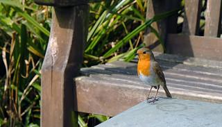 Borrowdale Robin