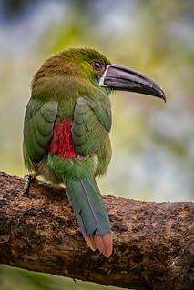 (Explored n 108) Tucan Verde