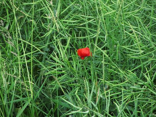 20120612 025 Mohnblumen rot