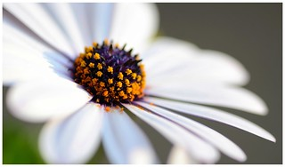 Daisy (Osteospermum)