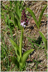 Orchis pourpré - Photo of Ronquerolles