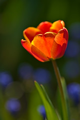 Glowing Red Tulip