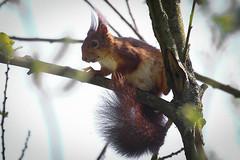 eekhoorn - Photo of Croix-en-Ternois