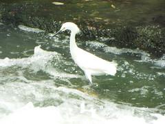 Snowy Egret, Breckinridge Park, Richardson, Texas, near Noon, April 22, 2019