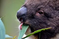 Koala Lunch