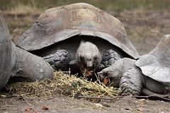 Tortoise Lunch