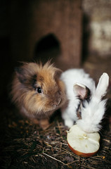 Two small rabits eating an apple
