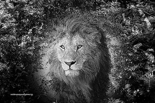 MY BROTHER LION.