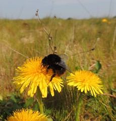 Bumblebee on a dandelion, Sandy, Bedfordshire