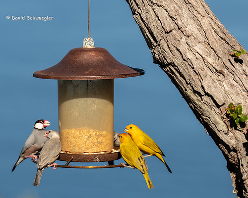 Saffron and Java Finches Share the Feeder