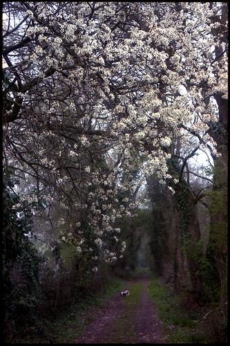 Cerisiers sauvages en fleurs
