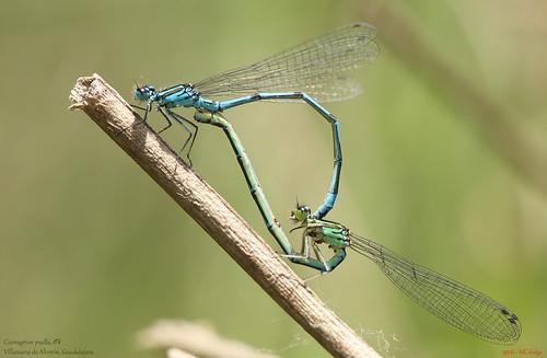 085 – Coenagrion puella, ♂♀