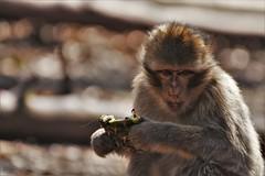 Montagne des singes D500 (136) 2 - Photo of Thanvillé