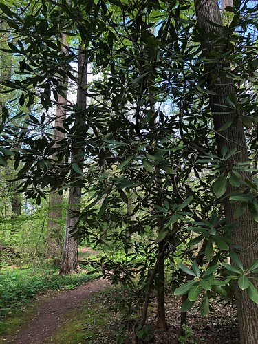 Rhododendron maximum, Willowwood Arboretum, Far Hills, NJ