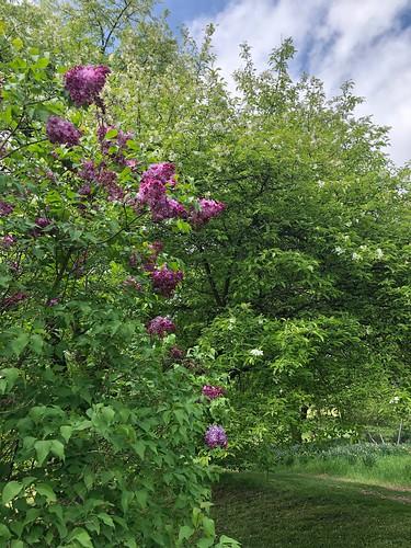 Lilacs, Willowwood Arboretum, Far Hills, NJ