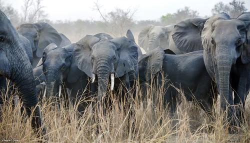 Troupeau d'Eléphants dans la Réserve de La Pendjari (Bénin)/Elephants in Pendjari Park (Benin)
