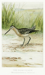 Dowitcherbird vintage drawing