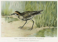 American Golden Plover vintage drawing