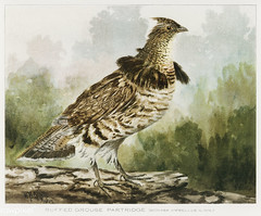 Ruffed Grouse Partridge vintage drawing