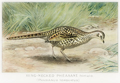 Ring–Necked Pheasant vintage drawing