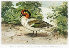 Green–Winged Teal vintage drawing