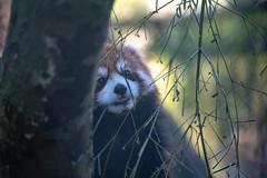 Eating Bamboo