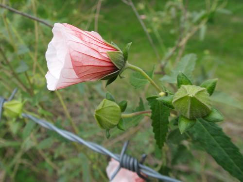 Pavonia hastata flower NC4