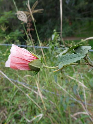 Pavonia hastata flower NC1